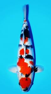551-Dikki TBKC - TUBAN - Bless Koi Centre - Semarang - Showa - 55cm - male