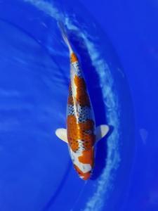 497-Akrimna fish center-blitar-kantong koi-blitar-hikarimoyomono-25cm