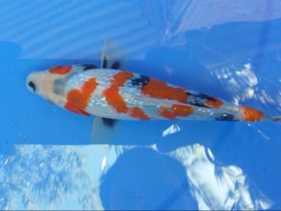 209-Michelle - tulungagung - pasukan bawah air - tulungagung - ginrin a - 18 cm